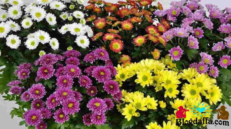 Tanaman hias bunga Krisan dapat digunakan sebagai pembersih udara
