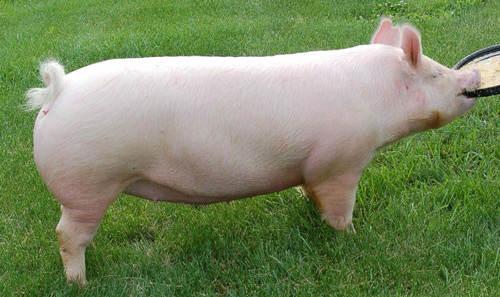 jenis dan tipe bangsa babi