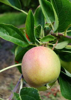 Apples growing in Uganda Africa