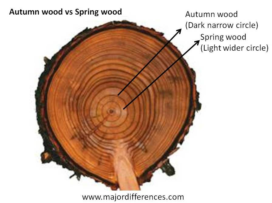 Difference between Spring wood and Autumn wood - MD