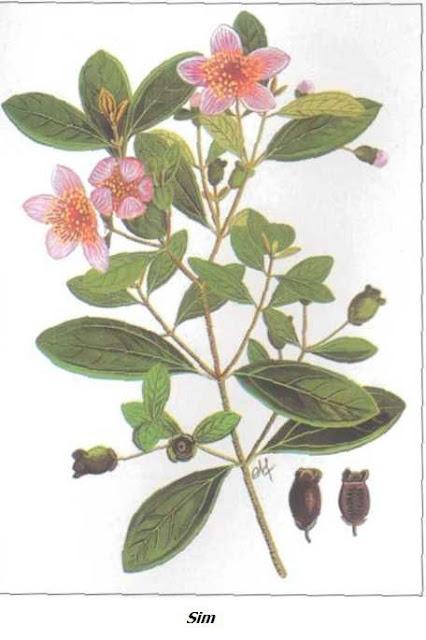 Cây Sim - Rhodomyrtus tomentosa - Nguyên liệu làm thuốc Chữa Đi lỏng-Đau Bụng
