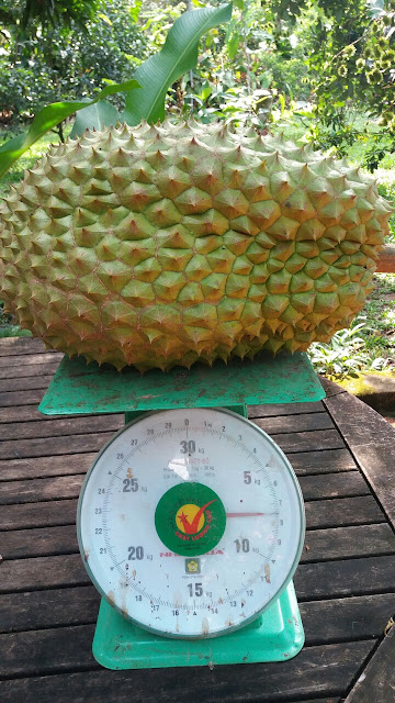 Sầu riêng khủng hơn 7 kg