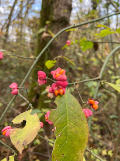 Near Monte Gussa, a patch of Euonymus europaeus commonly called spindle.