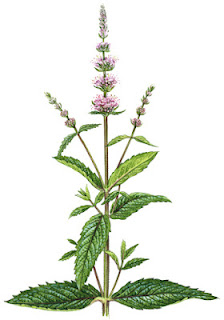 Medicinal Herb: Spearmint -- primarily digestive, used to treat nausea and other stomach ailments. 31Daily.com