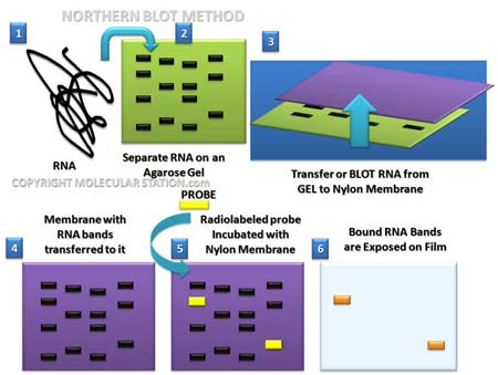 NORTHERN BLOT TECNICA PDF DOWNLOAD