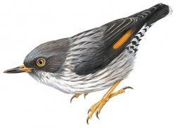 Daphoenositta chrysoptera