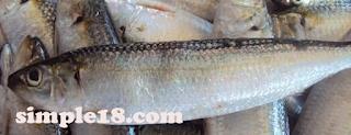 سمك البوري