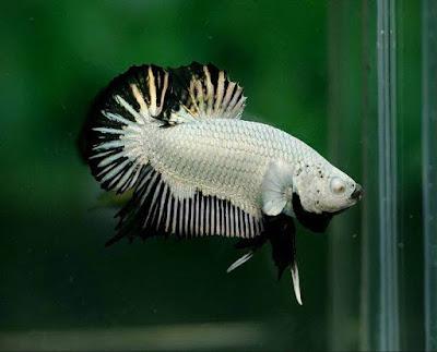 Ikan Cupang Putih keren
