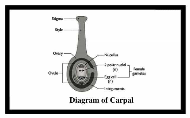Detailed Diagram of Carpal
