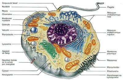 Une réflexion sur la constitution des êtres vivants. dans Partages et Enseignements cellule-cilliee