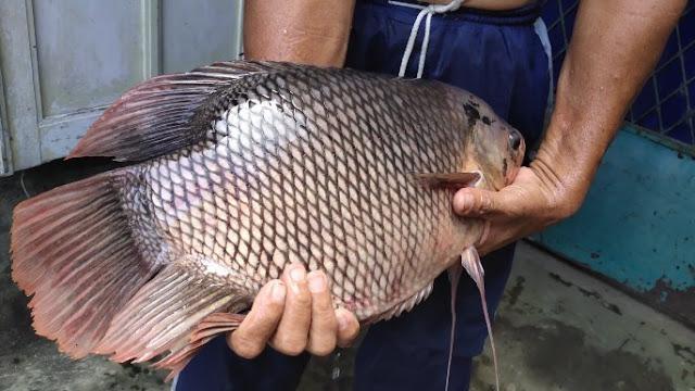 Supplier Jual Ikan Gurame Bibit & Konsumsi Jakarta Cepat Pengerjaan