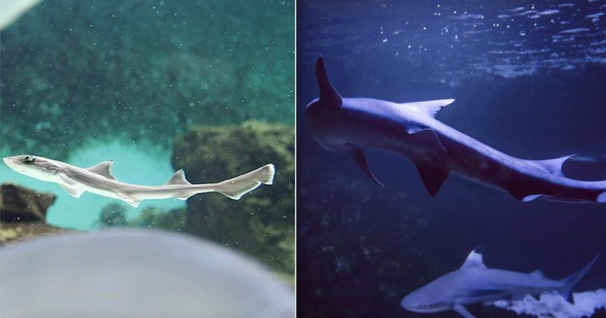 Shark In Italy Has 'Virgin Birth' After Being In An All-Female Shark Tank For 10 Years