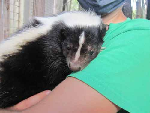 Soper Creek Wildlife Rescue Skunk