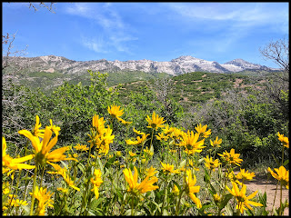 Beautiful Bright Yellow Wildflowers with Lone Peak Mountains Behind