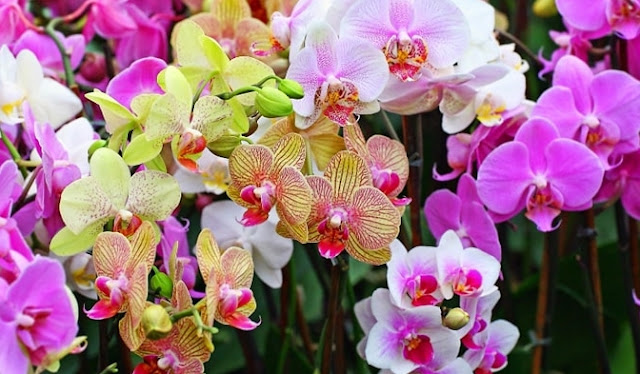 Mengenal Lebih Jauh Bunga Anggrek