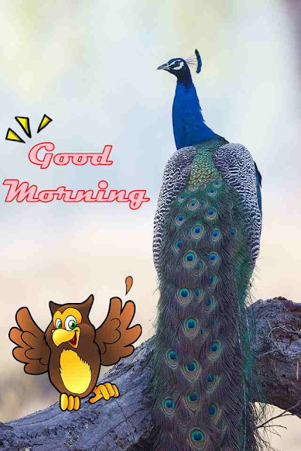 good morning with peacock feather