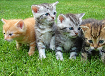 Feline-corona virus-in-cats
