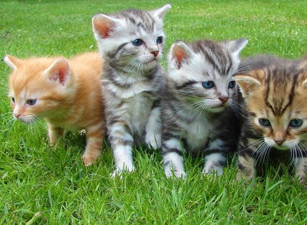Feline coronavirus | coronavirus in cats symptoms and treatment
