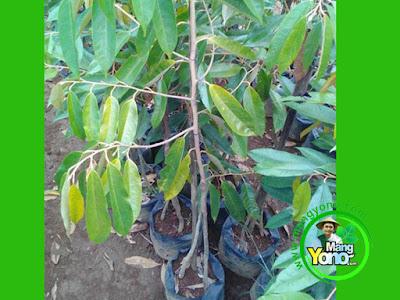 Taufik Hidayat Blanakan, Subang   Pembeli Bibit Durian Musangking kaki tiga sebanyak 1 bibit