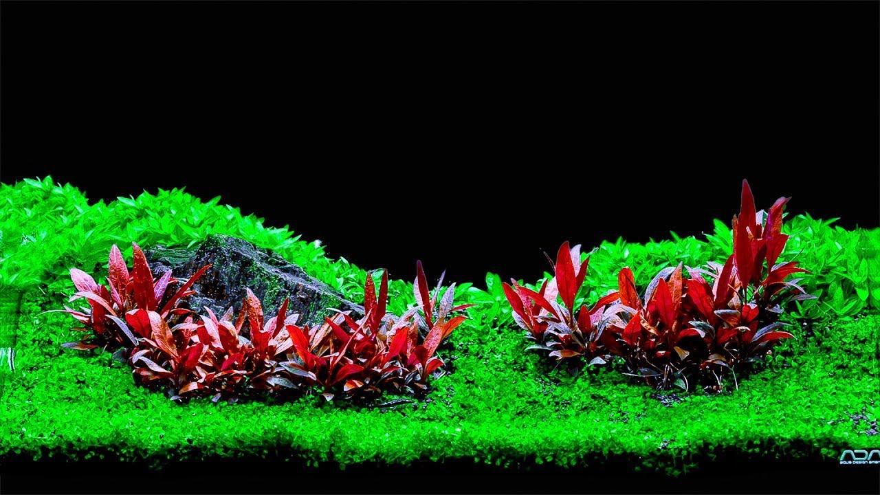 Huyết Tâm Lan mini trong hồ thủy sinh của TropicTank