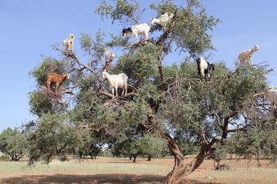 Chèvres dans un arganier au Maroc