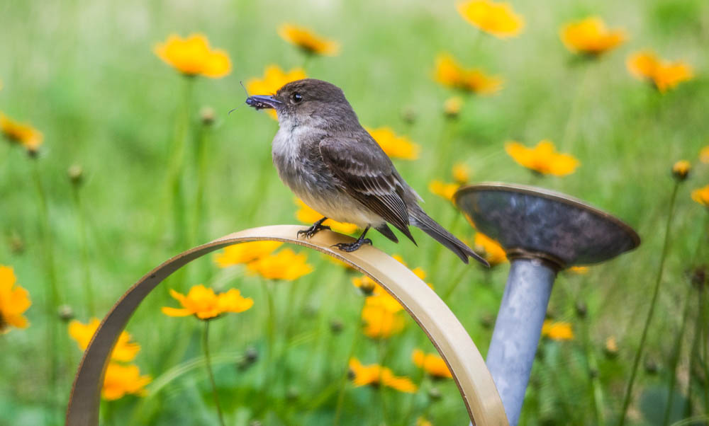 eastern phoebe on watering can