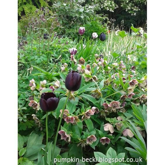 Hellebores tulips and aqueligia