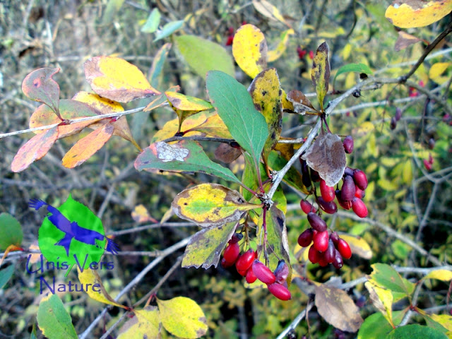 épine vinette, berberis vulgaris, formation, weekend, plantes sauvages, immersions, survie, jura, ain, bourgogne
