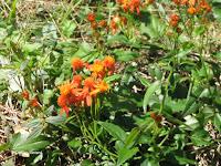 Orange daisy-like flowers - Botanical garden north of Hilo, Hawaii