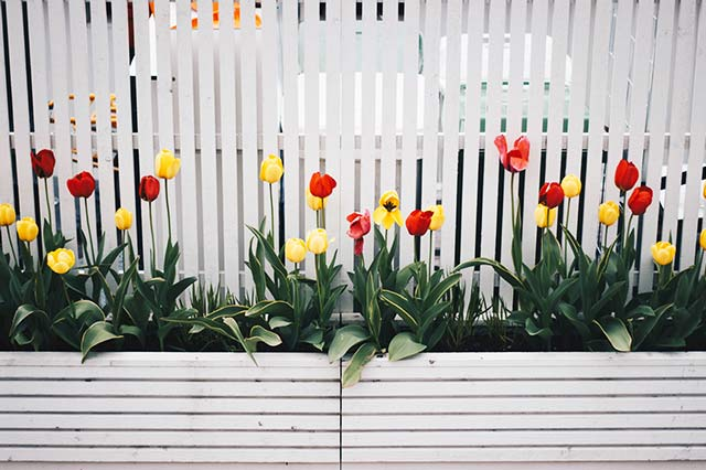 garden fence with tulips