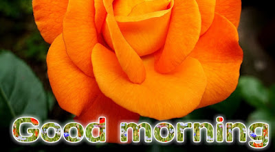 Rose good morning images HD morning flowers images free download