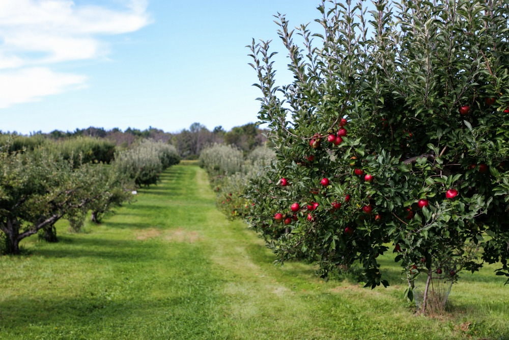 washington apple orchard