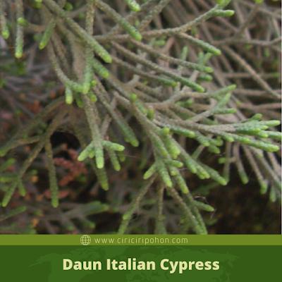 Ciri Ciri Daun Italian Cypress