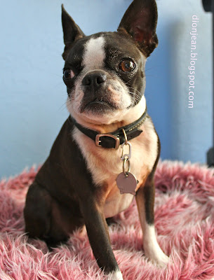 Sinead the Boston terrier listening to music