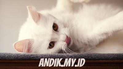 kucing, putih, bulu kucing, perawatan kucing