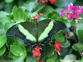 Machaon émeraude - Papilio palinurus