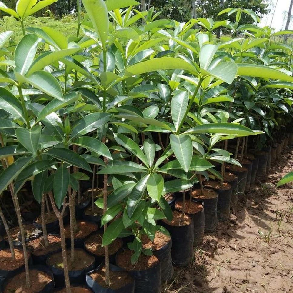 Bibit Pohon Pule Pulai Cimahi