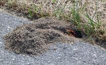 A female digging a burrow alongside some  pavement