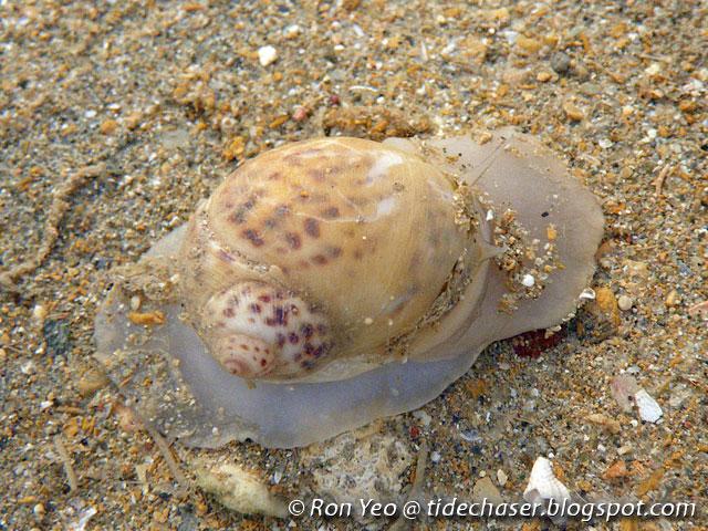moon snail diagram snail shell diagram the tide chaser: moon snails (phylum mollusca: family ...