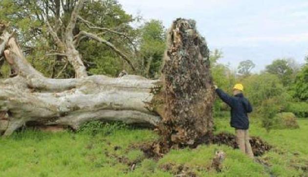 215 साल पुराना पेड़ उखड़ने के बाद नजर आई ऐसी चीज, हर कोई हैरान