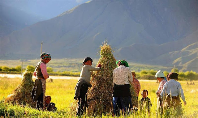 Millet farmers adopted barley agriculture and permanently settled the Tibetan Plateau