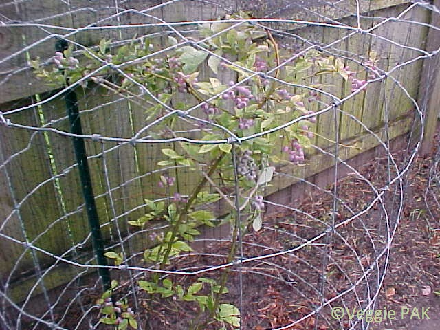 The Bird Protection Looks Nice When In Place Beauty Of These Units Is That To Pick Blueberries You Simply Lift Off A Lightweight Enclosure