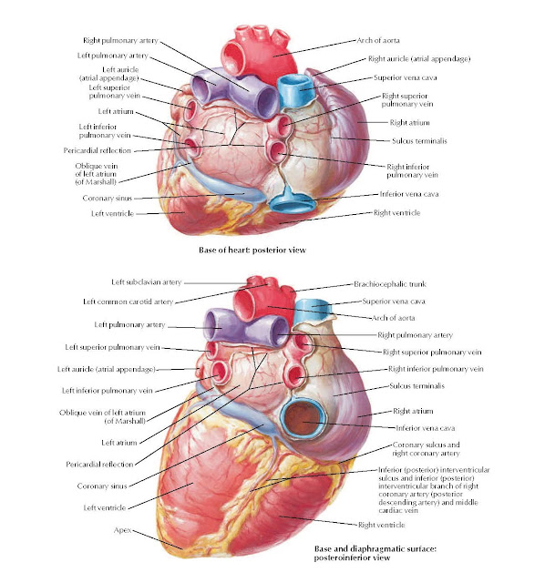 Heart: Base and Diaphragmatic Surface Anatomy Right pulmonary artery, Left pulmonary artery, Left auricle (atrial appendage), Left superior pulmonary vein, Left atrium, Left inferior pulmonary vein, Pericardial reflection, Oblique vein of left atrium (of Marshall), Coronary sinus, Left ventricle, Apex, Arch of aorta, Right auricle (atrial appendage), Superior vena cava, Right superior, pulmonary vein, Right atrium, Sulcus terminalis, Right inferior pulmonary vein, Inferior vena cava, Right ventricle, Base of heart: posterior view, Left subclavian artery, Left common carotid artery, Left pulmonary artery, Left superior pulmonary vein, Left auricle (atrial appendage), Left inferior pulmonary vein, Oblique vein of left atrium (of Marshall), Left atrium, Pericardial reflection, Coronary sinus, Left ventricle, Brachiocephalic trunk, Superior vena cava, Arch of aorta, Right pulmonary artery, Right superior pulmonary vein, Right inferior pulmonary vein, Sulcus terminalis, Right atrium, Inferior vena cava, Coronary sulcus and right coronary artery, Inferior (posterior) interventricular sulcus and inferior (posterior) interventricular branch of right coronary artery (posterior descending artery) and middle cardiac vein, Right ventricle, Base and diaphragmatic surface: posteroinferior view.