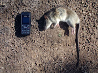 Big rat with Nokia for scale