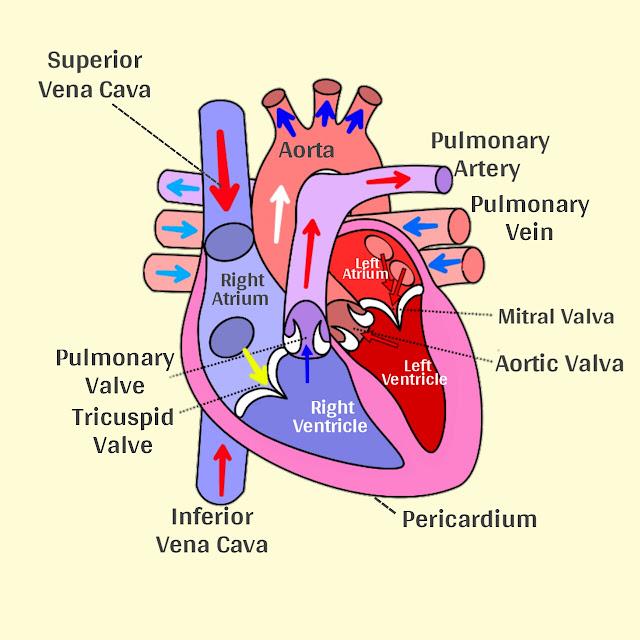 हृदय परिसंचरण तंत्र - क्या है, कैसे कार्य करता है सम्पूर्ण जानकारी हिन्दी में