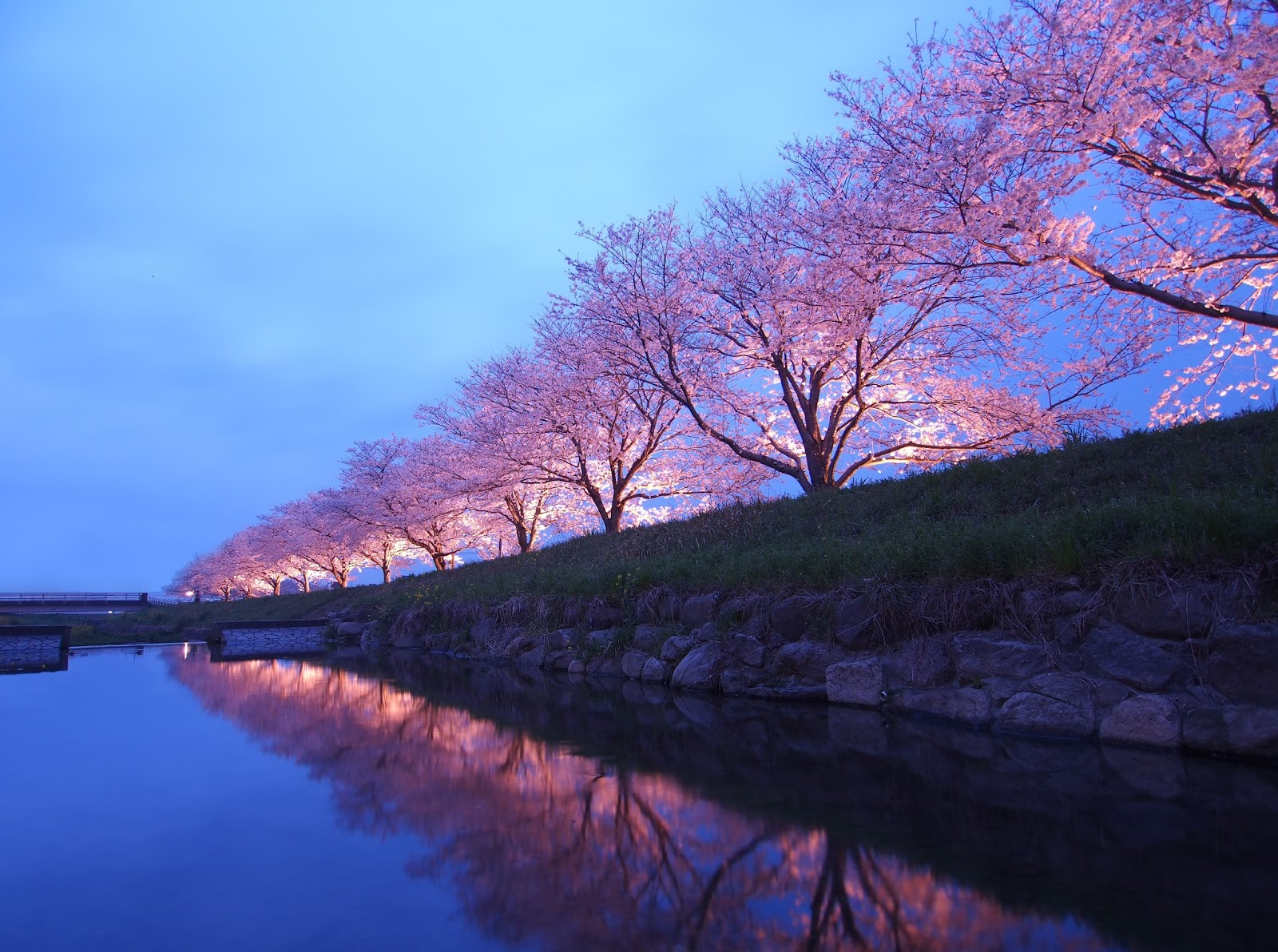 experience fukuoka japan�s cherry blossom festival with