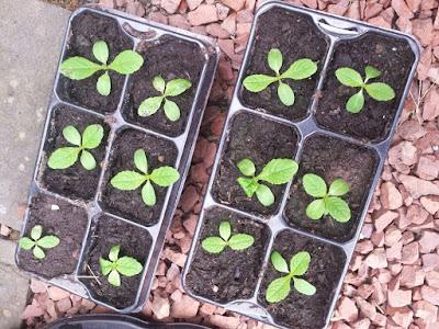 Teasel seedlings