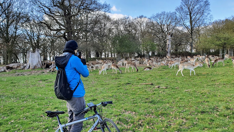 通常到里士滿公園 Richmond Park 都會找尋鹿的蹤跡