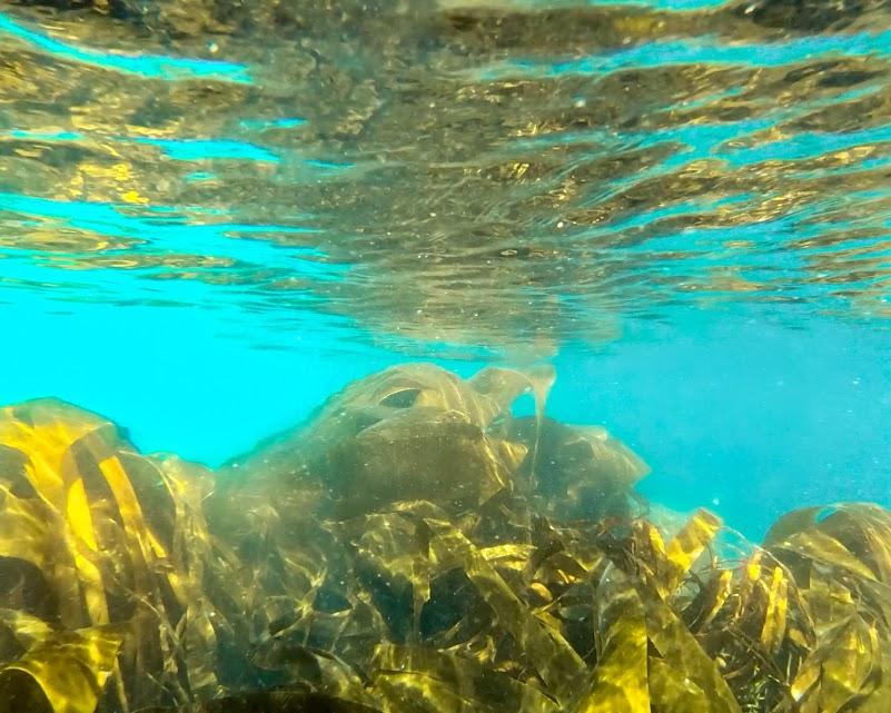 Kelp underwater by Logan's Rock