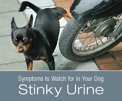 Symptoms to Watch for in Your Dog: Stinky Urine